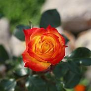 Multicolored Orange and Yellow Rose