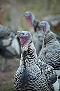 Domestic turkeys, Meleagris gallopavo f. domestica