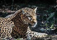 Panamanian Jaguar