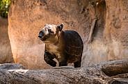 A Baby Tapir