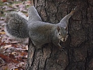 Grey Squirrel on Tree Trunk