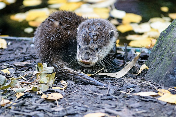 Asian Short-Clawed Otter Baby