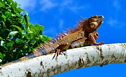 Iguana, in the Sky II