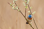 Bluethroat perched on a twig