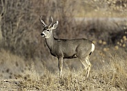 Male white tail deer in the grass