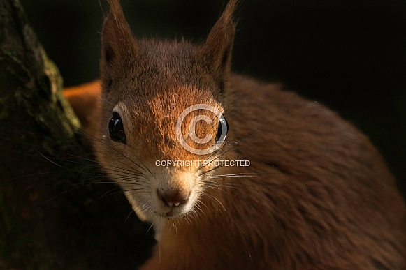 Red Squirrel Leaning Into Light