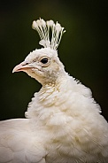 White Peacock Portrait