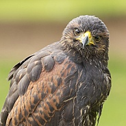 Harris Hawk Portrait
