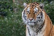 Siberian/Amur Tigress (Panthera Tigris Altaica)