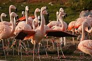 Chilean Flamingos Group