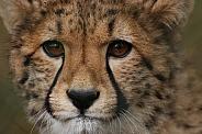Close up of a young cheetah