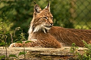 Northern Eurasian Lynx Lying Down