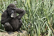 Young Western Lowland Gorilla Hand On Hip
