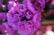 Azalea pink