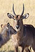 Waterbuck - Botswana