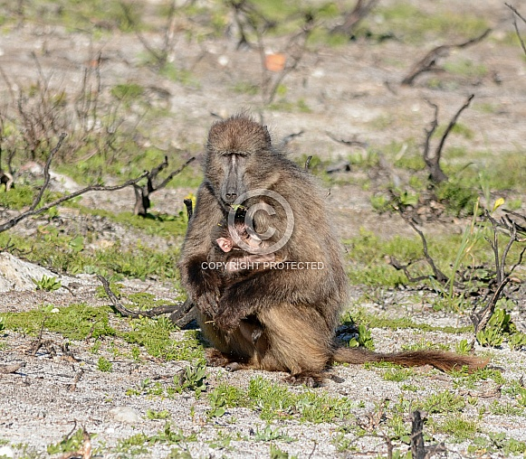 Mother Chacma Baboon eating with baby