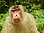 Baboon North Sumatra