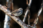 Dark-eyed Junco Sitting on a Tree Branch