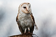 Barn owl, front on