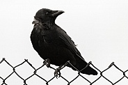 Crow on fence