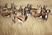 Springbok - Etosha National Park - Namibia