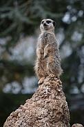 Meerkat on watchout duty