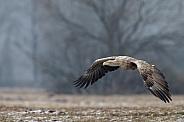 European Eagle