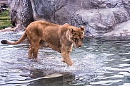 Lion wading through a Pool