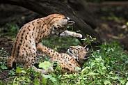 playing lynx cubs