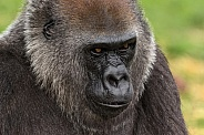 Female Western Lowland Gorilla Headshot Close Up