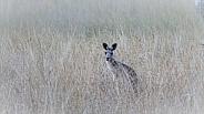 Wallaby/kangaroo