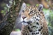 Jaquar (Panthera Onca)