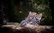 Amur Lopard Cub