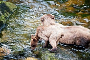 Wild Grizzly bear with cub