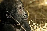 Baby Western Lowland Gorilla Side Profile