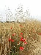 Wild Oat (Avena fatua) and Corn Poppy (Papaver rhoeas) in a wheat field