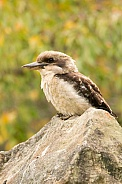 Laughing Kookaburra (wild).