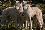 Arctic Wolf Family