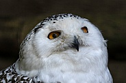 Snowy Owl Face Shot Looking Upwards