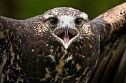 Juvenile Chilean Blue Eagle Calling Close Up