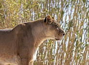African Lioness in profile by bamboo