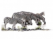 South African Zebra Wild