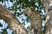 African Leopard (wild)