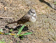 Juvenile Cape Wagtail