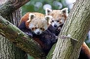 Red pandas (Ailurus fulgens)
