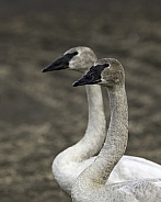 Cygnet Trumpeter Swan