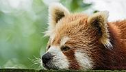 Red Panda Close Up Lying Down