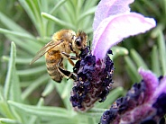 Honey Bee Apis mellifera on Lavender flower Lavandula angustifolia