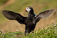 Atlantic Puffin Stretching with Sand Eels