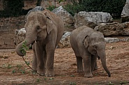 Adult And Young Elephant With Browse To Eat